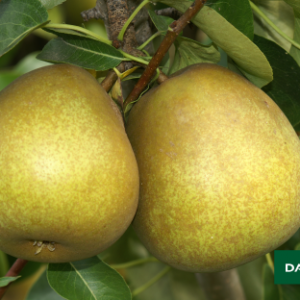 BEURRE-HARDY Pear
