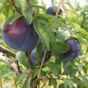 Black Splendor plum