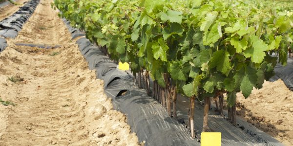 Young Vineyards in rows. Seedlings vines.Graft of the vines.