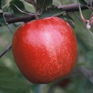 Mahana Red Ceres