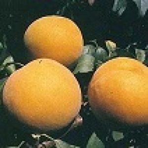 goudmyn-peach